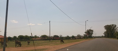 Cattle grazing near the road (without a fence) in the North West. Photo by Phindiwe Nkosi
